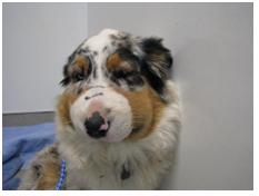 Can Dogs Take Anti Inflammatories