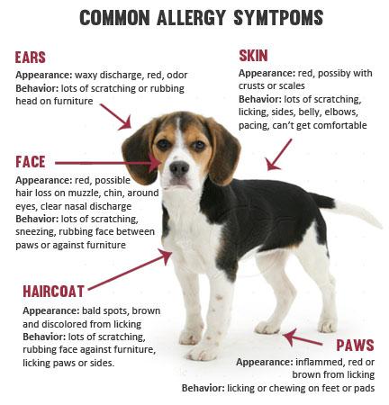 Dog Fur Allergies Goldenacresdogs