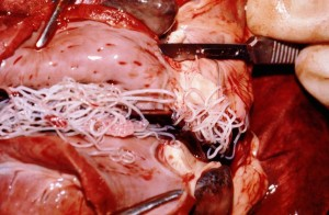 dogs with heartworms