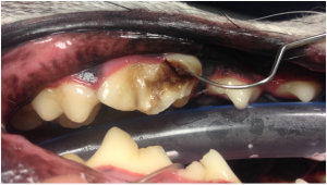 fractured teeth dog