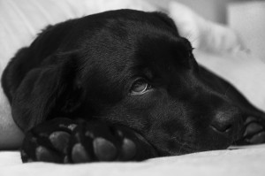 sick dog canine influenza