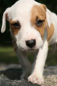 dog pneumonia