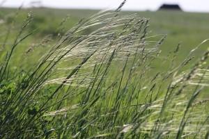 grass awns