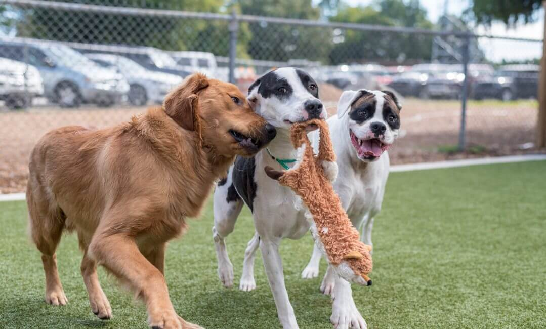 Dogs playing in doggie daycare