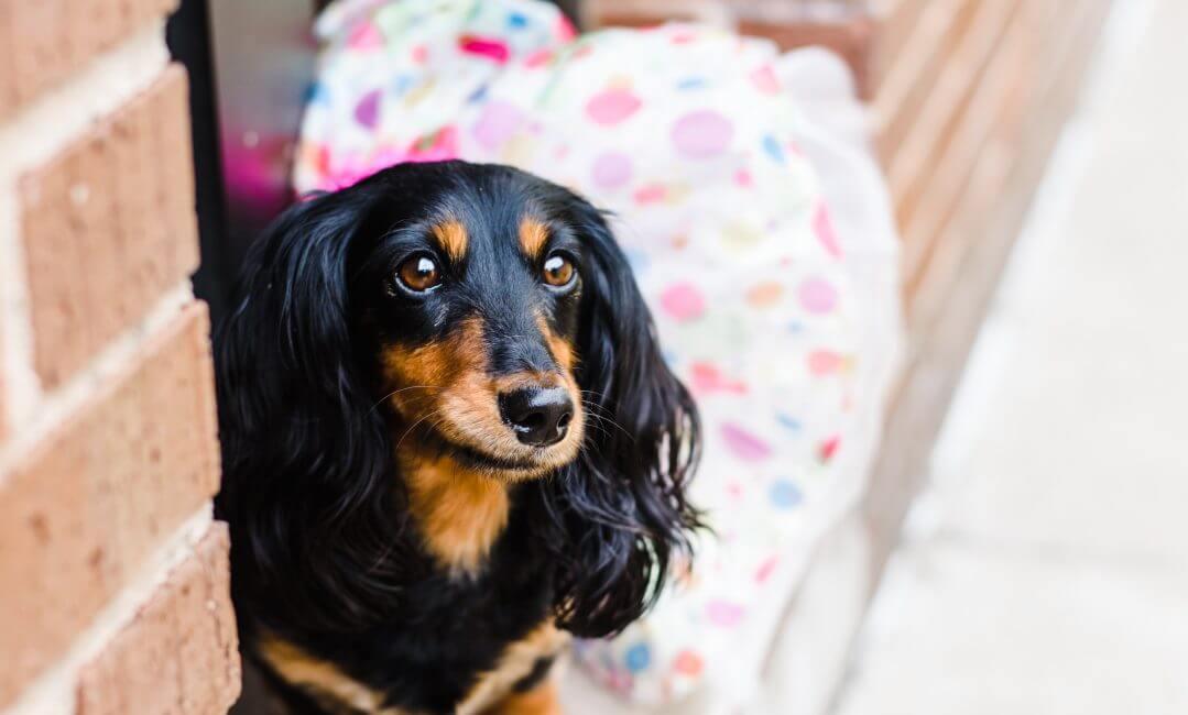 Dachshund in a tutu doggie daycare